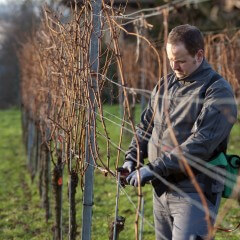 Young Vintner pruning wine grapes with an electrical pruner